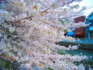 石神井川 桜