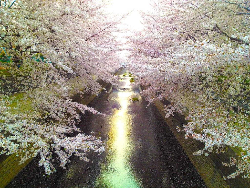 桜 練馬高野台