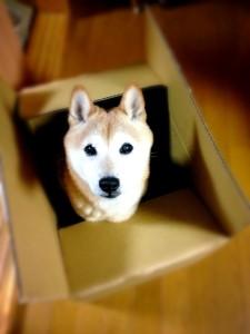 段ボール 柴犬