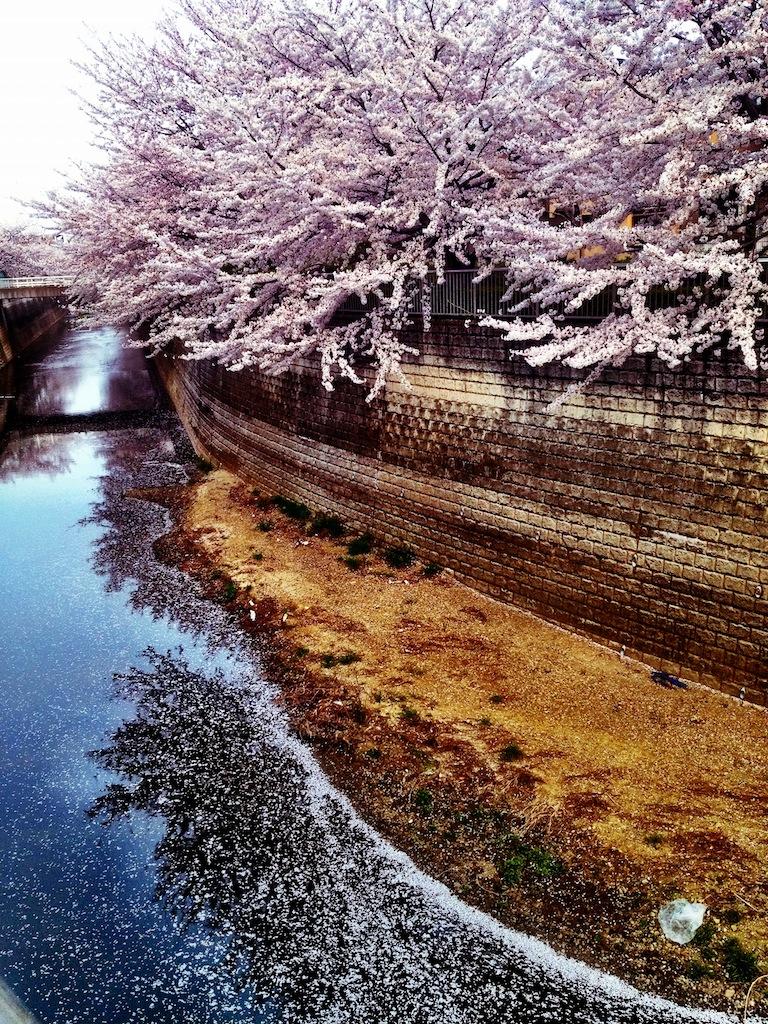 桜が散り始めると、水面が天の川のようになります。